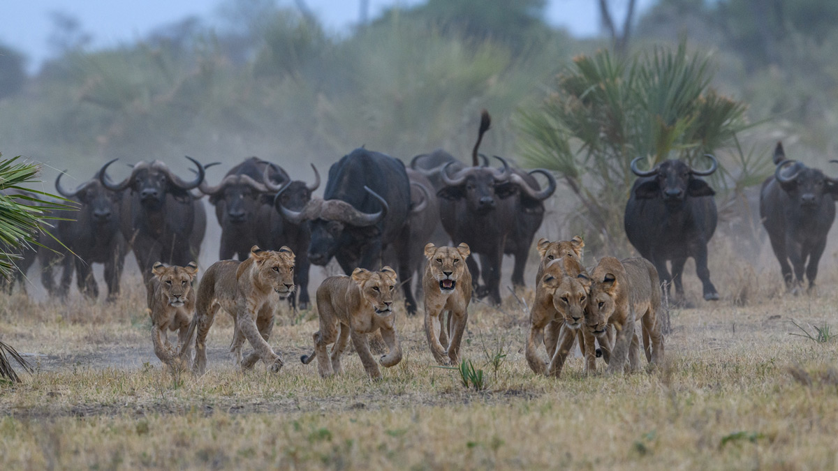 The Elsa lion pride makes a retreat after attempting to stalk a herd of buffaloes in Maasai Mara National Reserve, Kenya © Rudolf Hug