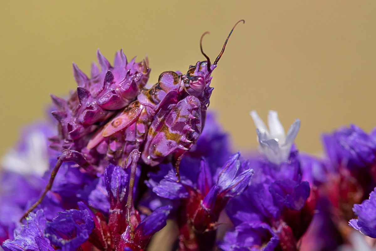 An eyed-flower mantis mimics flower petals to give it advantage over potential predators in KwaZulu-Natal, South Africa © Tanya Nadauld