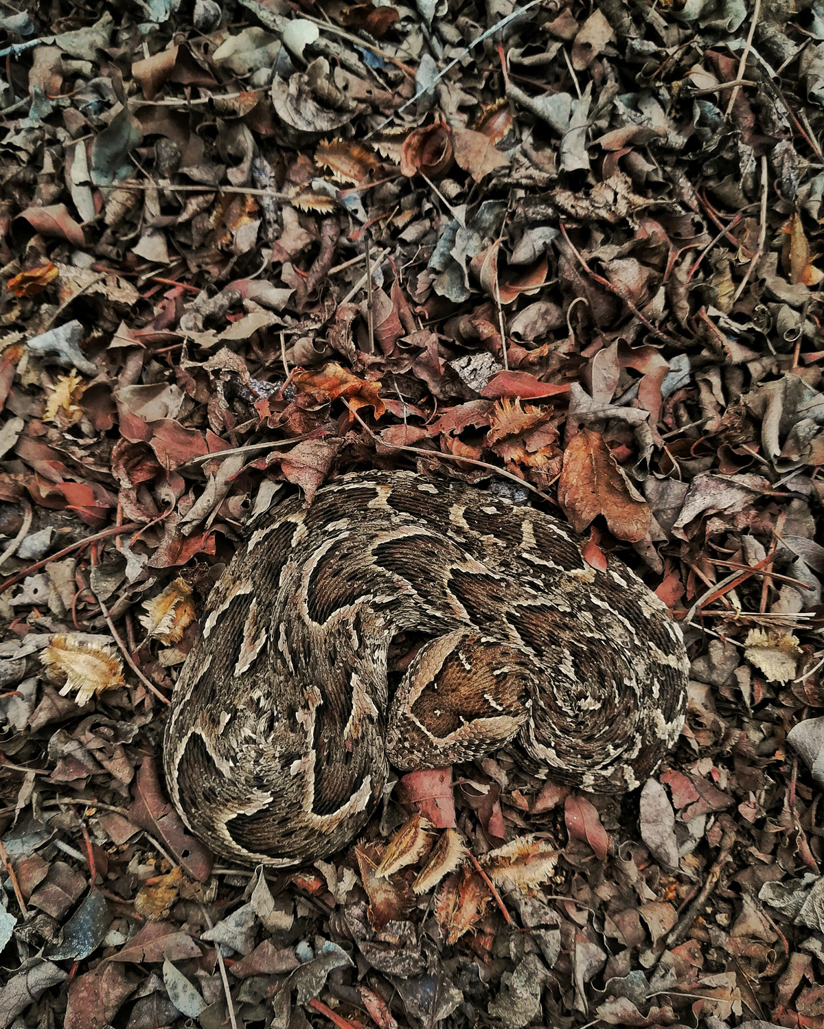 """""""Master of camouflage"""" – a puff adder in Kruger National Park, South Africa © Theo Busschau"""