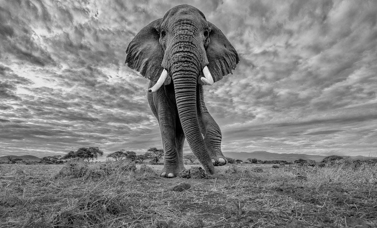 'Pride of Africa' – an elephant in Amboseli National Park, Kenya © Thomas Vijayan