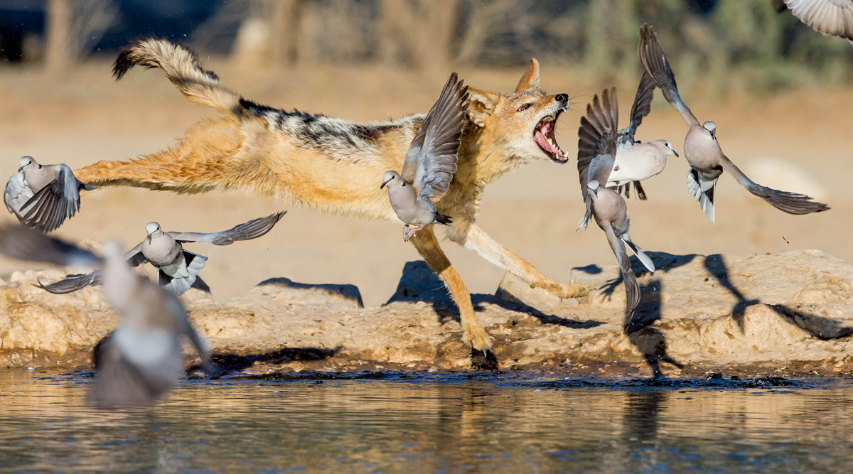 A black-backed jackal hunts Cape turtle doves in Kgalagadi Transfrontier Park, South Africa © Willem Landman