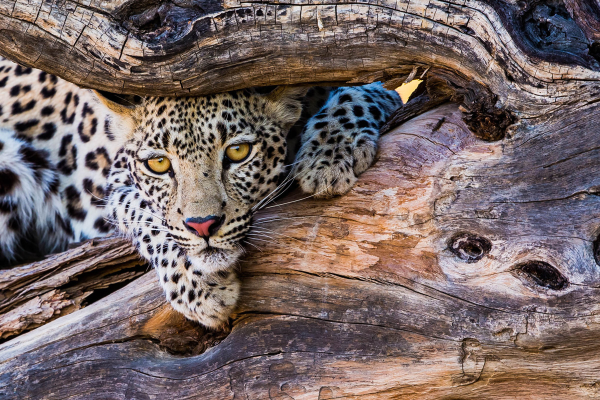 A young female leopard resting in a dead tree in Kgalagadi Transfrontier Park, South Africa © Willem Landman