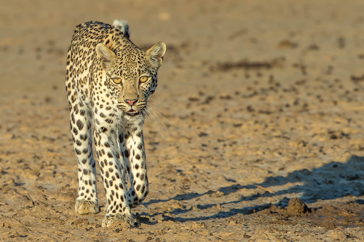 A young female leopard walks in the dry riverbed of the Nossob River in Kgalagadi Transfrontier Park, South Africa © Willem Landman