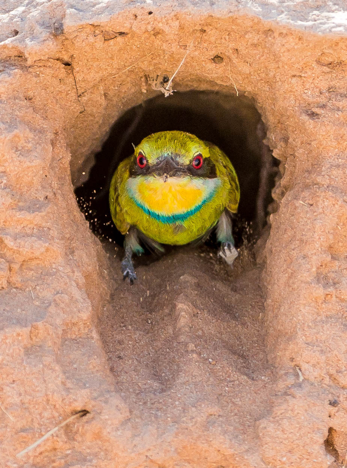 A swallow-tailed bee-eater exits the burrow after feeding its young in Kgalagadi Transfrontier Park, South Africa © Willem Landman