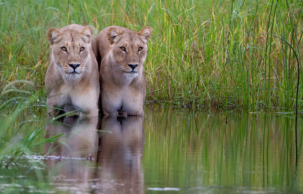 """Already hesitant to cross the water, these lionesses spotted another lioness in the long grass on the other side and stopped in their tracks."" – Khwai, Botswana © Willem Landman"