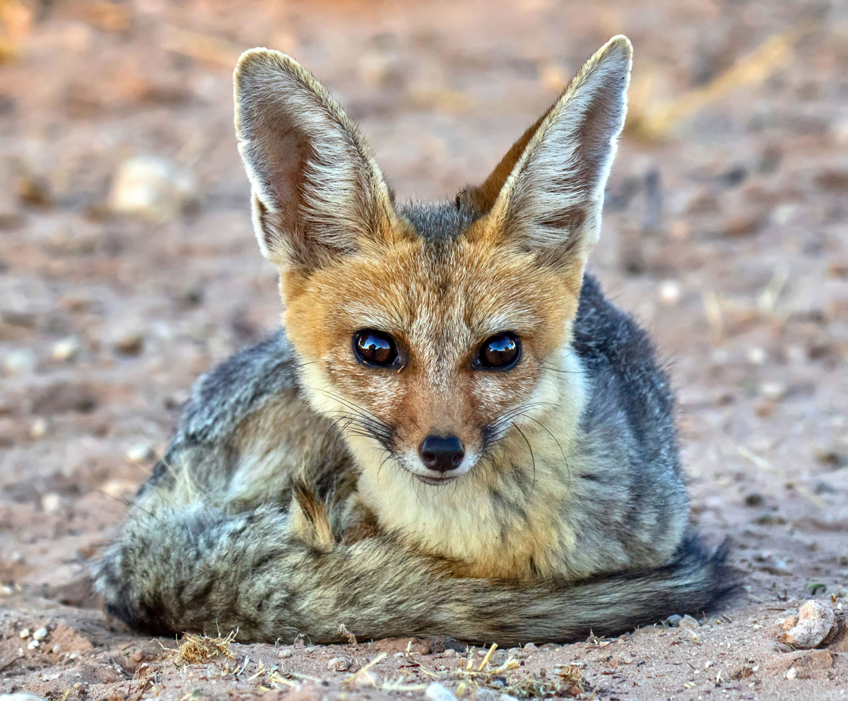 A Cape fox keeps guard over the den on a chilly morning in Kgalagadi Transfrontier Park, South Africa © Wilmari Porter
