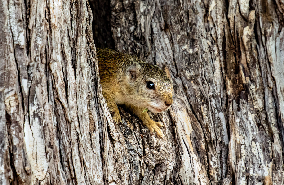 A tree squirrel in Kruger National Park, South Africa © Wilmari Porter