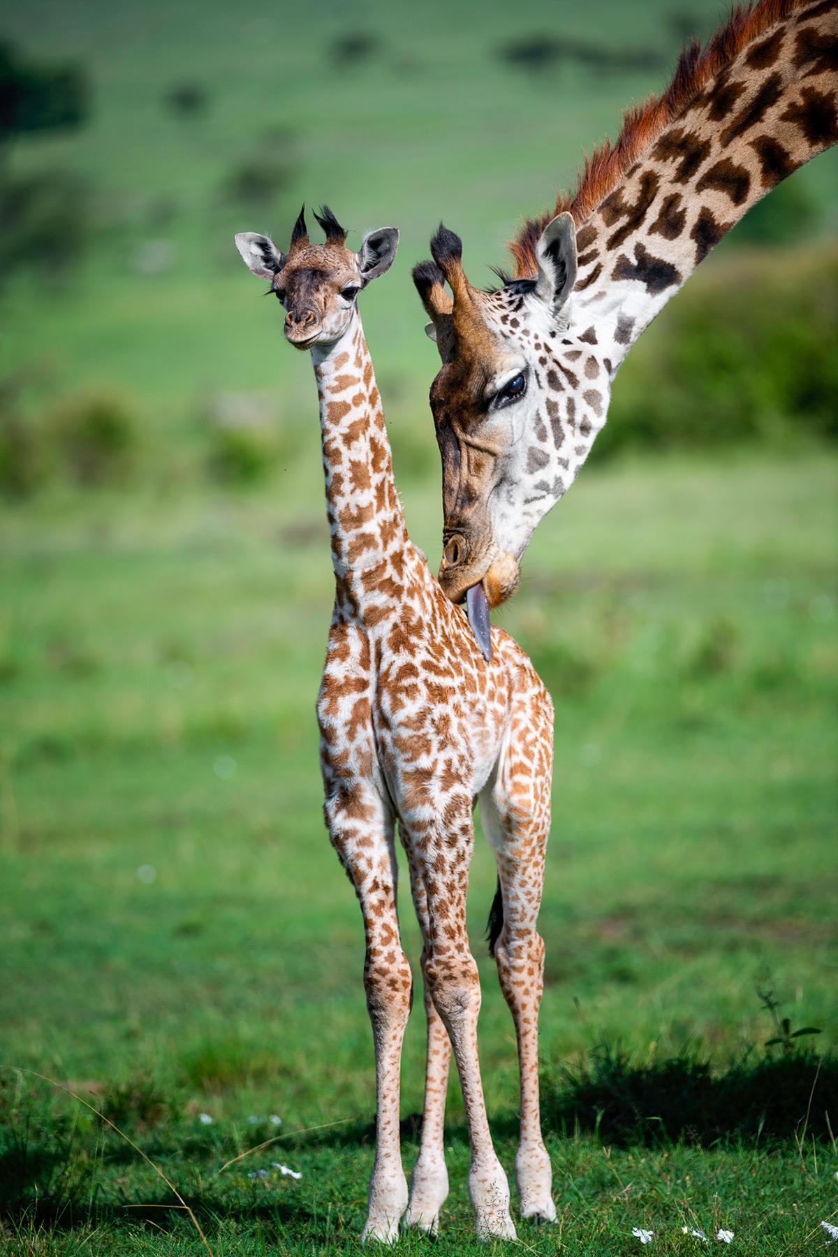 A giraffe grooms her calf in Mara North Conservancy, Kenya © Yaron Schmid