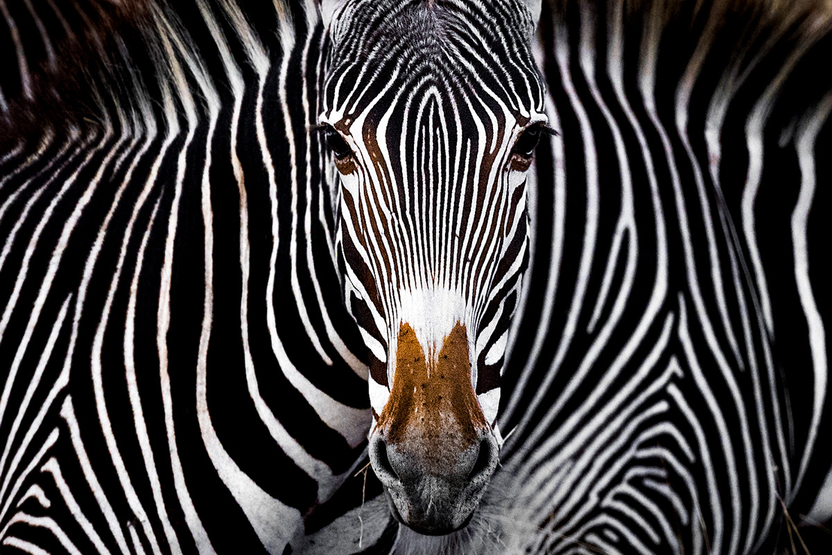 Grevy's zebra illusion © Yaron Schmid