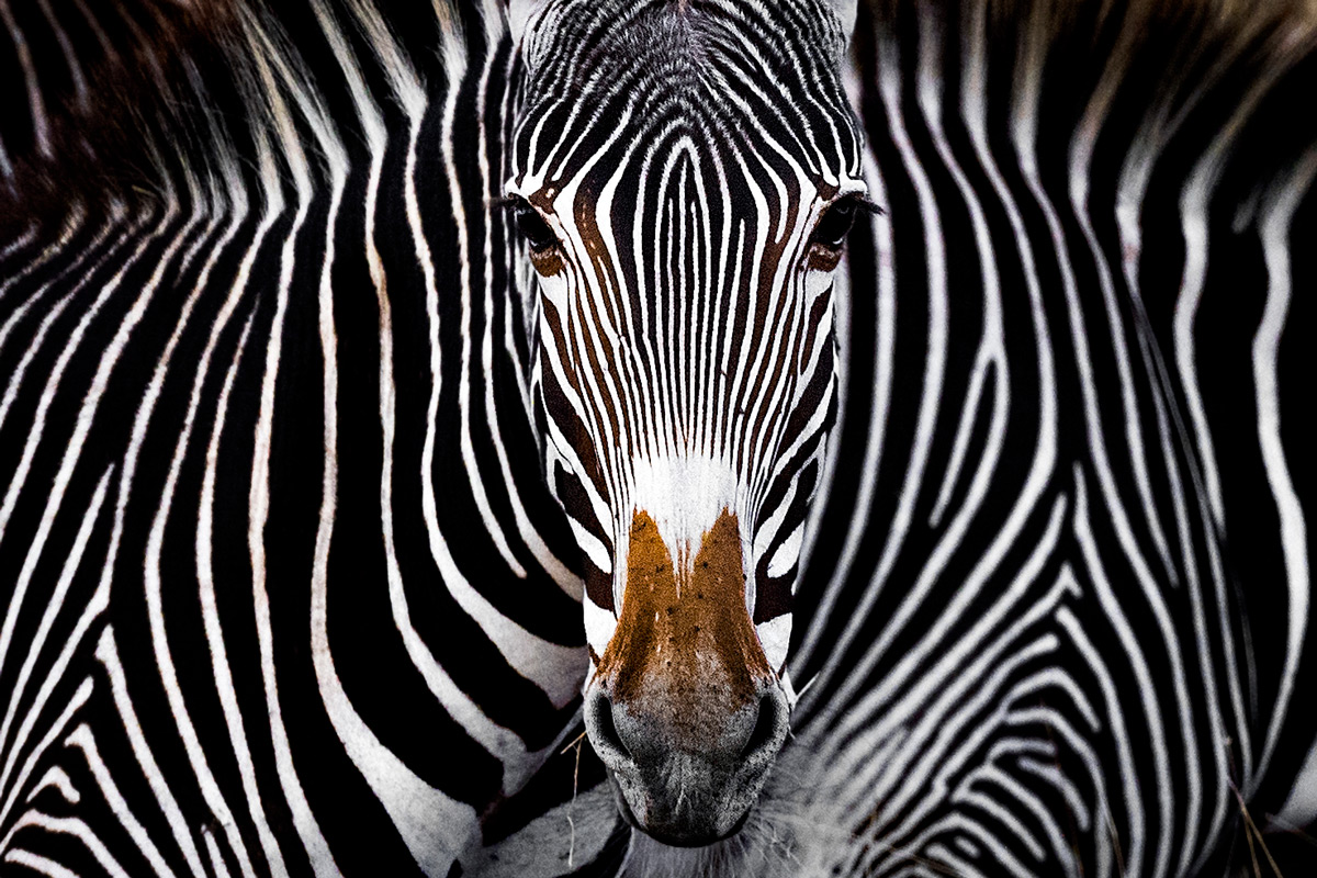 """The Grevy's zebra illusion"" – Lewa Wildlife Conservancy, Kenya © Yaron Schmid"
