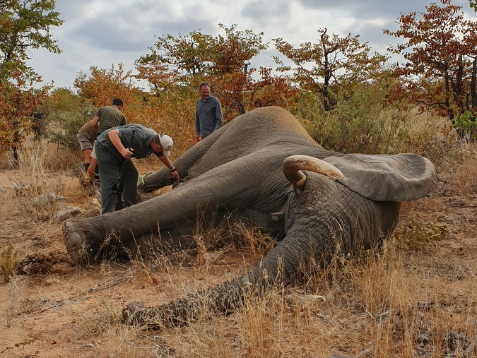 Elephant bull tranquillised for treatment for serious injury