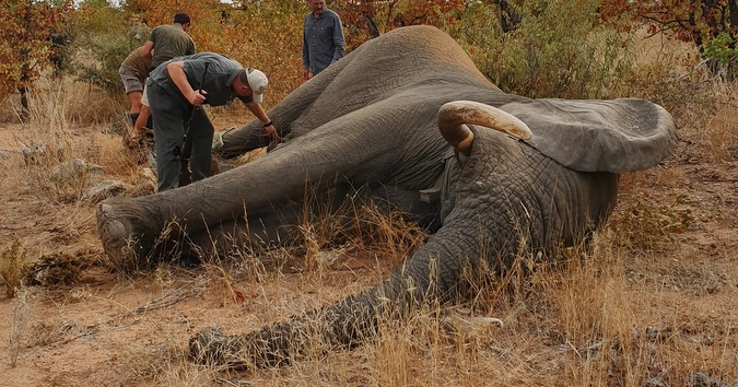 Elephant bull with failing eyesight treated for serious injuries - Africa Geographic
