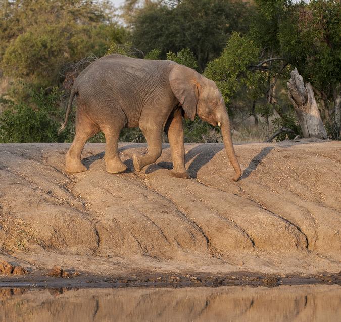 Young elephant walking by waterhole