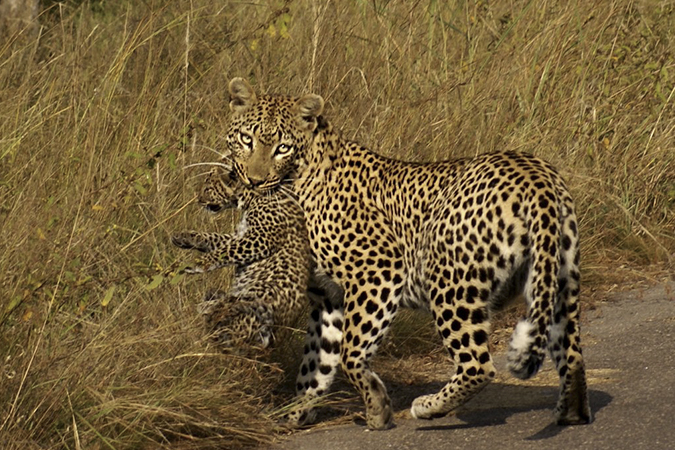 Leopardess and cub in Kruger National Park, South Africa
