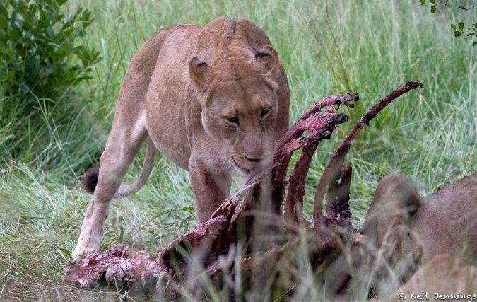 Lioness with carcass in Manyeleti Game Reserve, South Africa, Tintswalo Safari Lodge