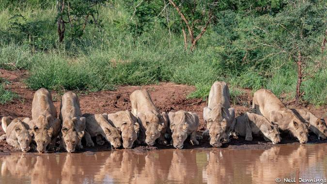 Lion pride drinking in Manyeleti Game Reserve, South Africa, Tintswalo Safari Lodge