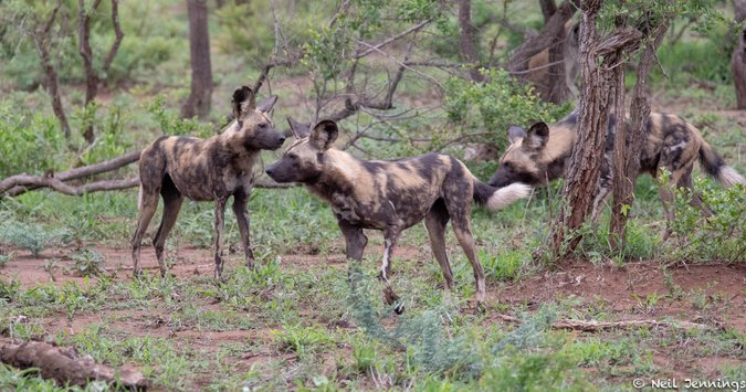 Painted wolves, African wild dogs in Manyeleti Game Reserve, South Africa, Tintswalo Safari Lodge