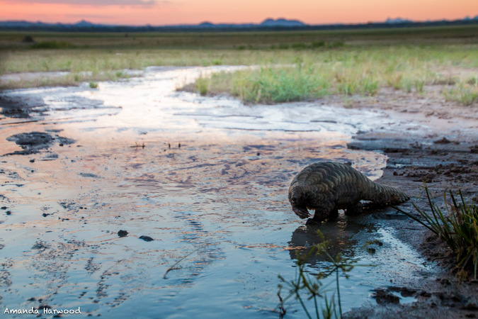 Pangolin in the wild in Malawi, Amanda Harwood