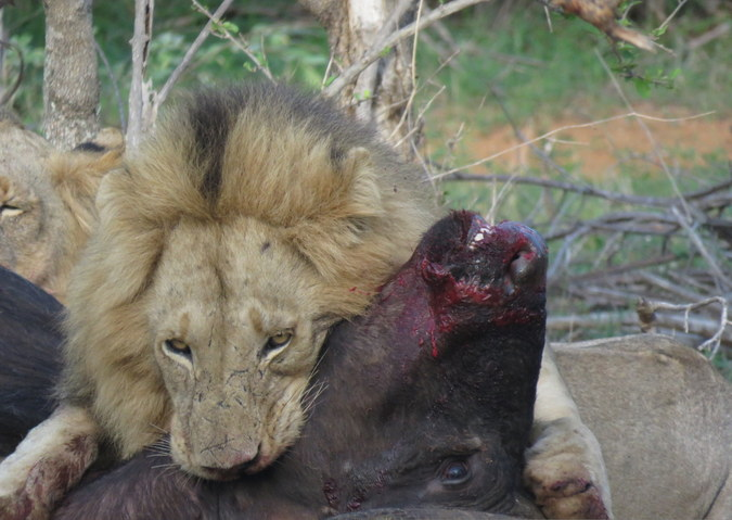 Lion with buffalo kill in Balule, Greater Kruger National Park, South Africa