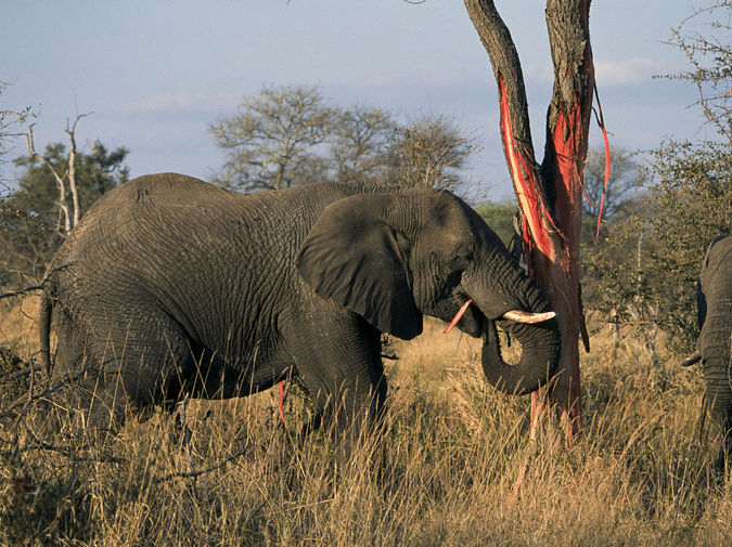Elephant in Kruger National Park stripping and eating tree bark © Andrew Shiva/Wikipedia