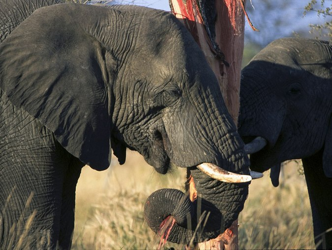 Up close of elephants in Kruger National Park stripping and eating tree bark © Andrew Shiva/Wikipedia