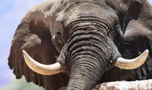 Voortrekker the desert-adapted elephant