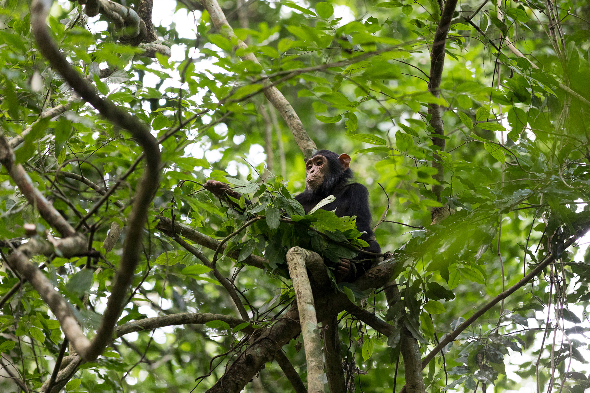 A young chimpanzee builds a nest for napping in Kibale National Park, Uganda © Patrice Quillard