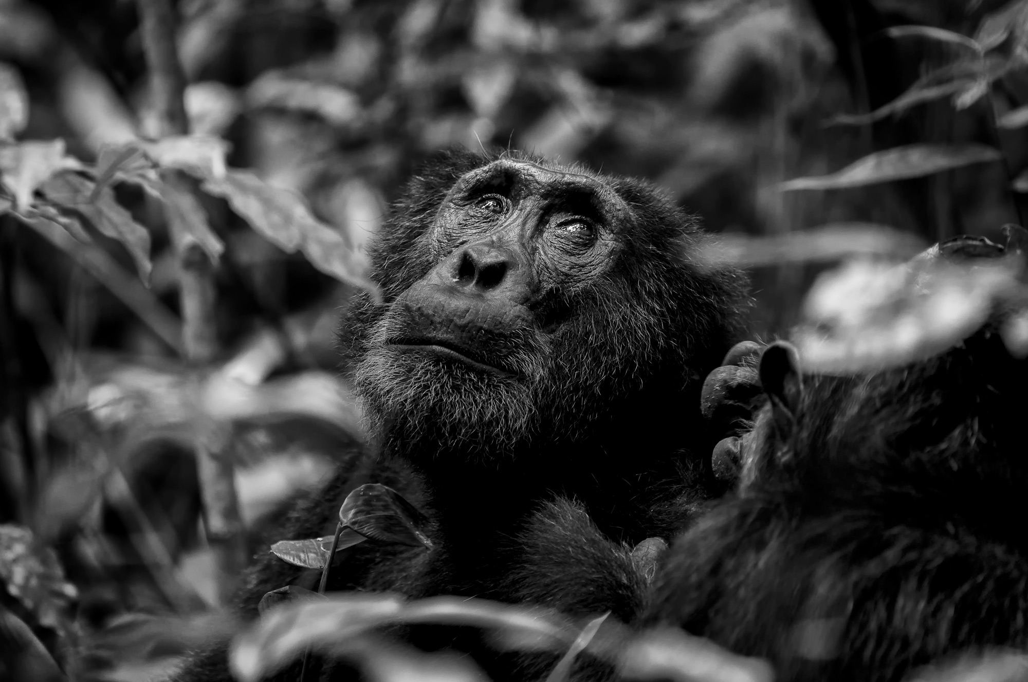 """""""The wise one"""" in Kibale National Park, Uganda © Prelena Soma Owen (Photographer of the Year 2018 Finalist)"""