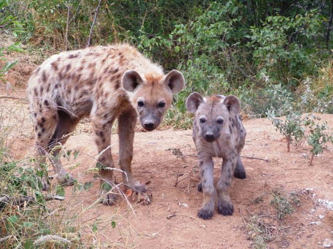 Spotted Hyena Den