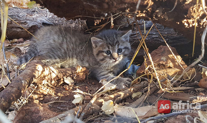 The African wildcat kitten safely tucked away under a pile of logs