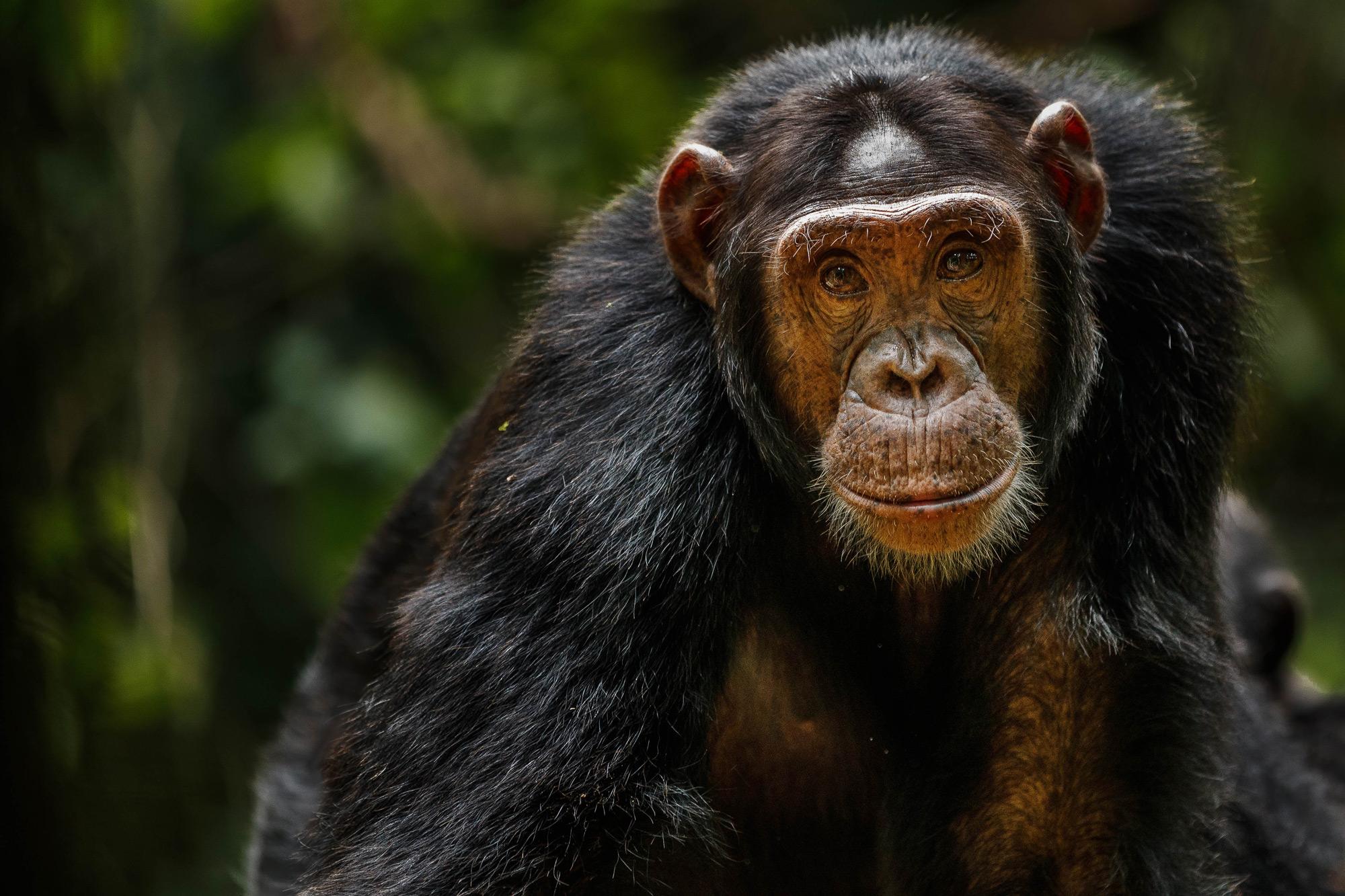 Eye to eye with a chimpanzee in Kibale National Park, Uganda © Thorsten Hanewald