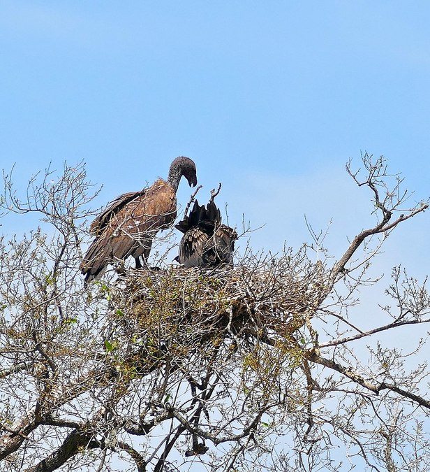 White-backed vultures feeding their chick © Bernard Dupont