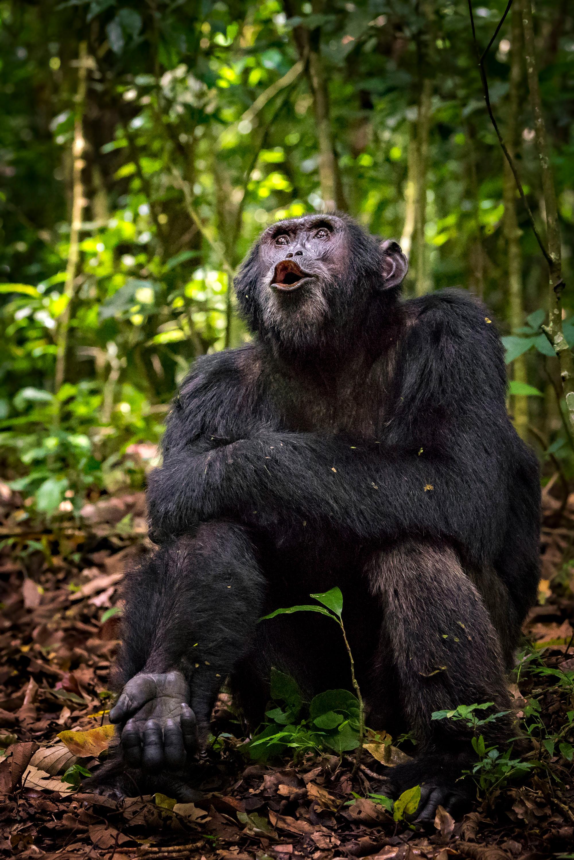 A chimpanzee in Kibale National Park, Uganda © Yaron Schmid
