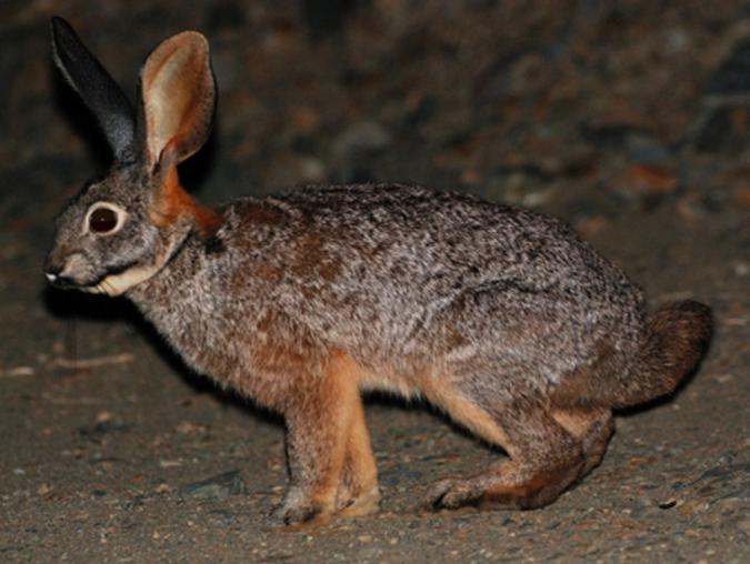 A riverine rabbit