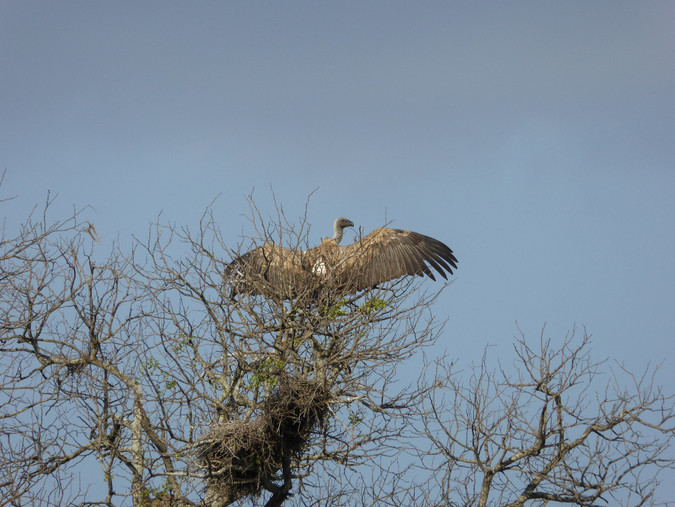 White-backed vulture by nesting site © Regina Hart