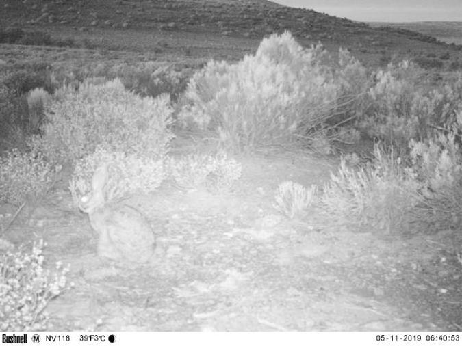 Camera trap image showing riverine rabbit
