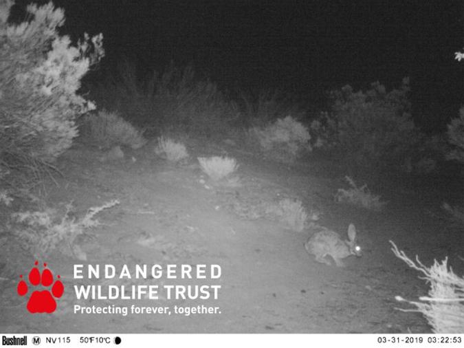 Camera trap showing riverine rabbit