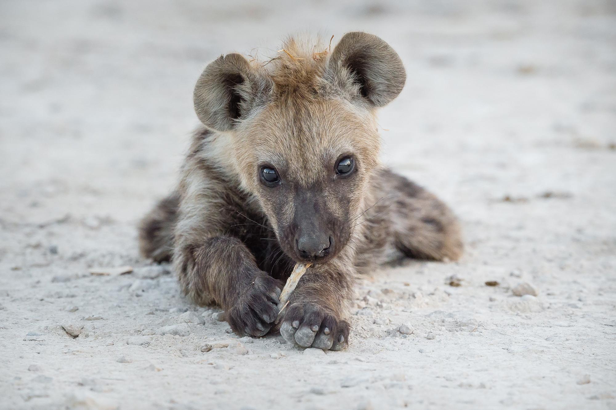 A hyena cub in Etosha National Park, Namibia