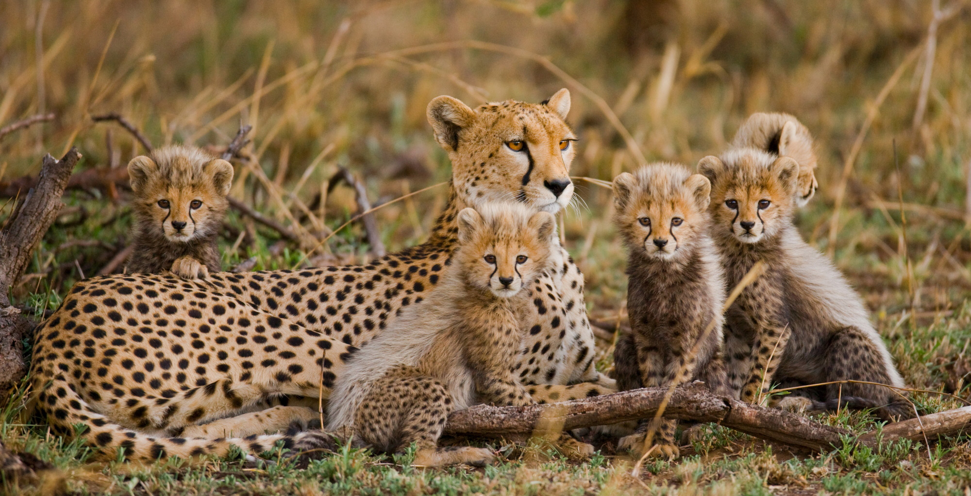A cheetah mother with her cubs in Serengeti National Park, Tanzania