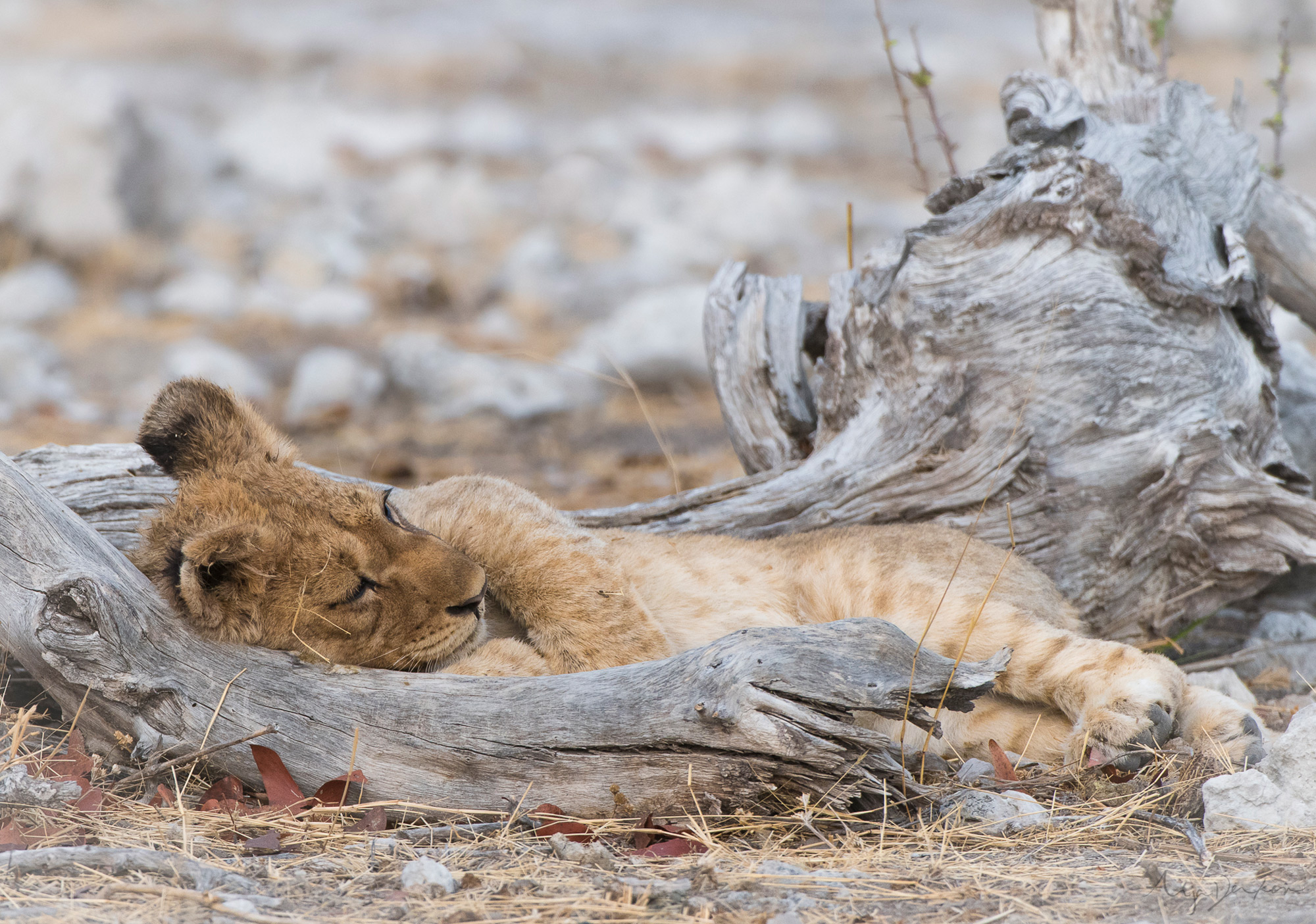 A lion cub fast asleep between the branches of a fallen tree, Etosha National Park, Namibia