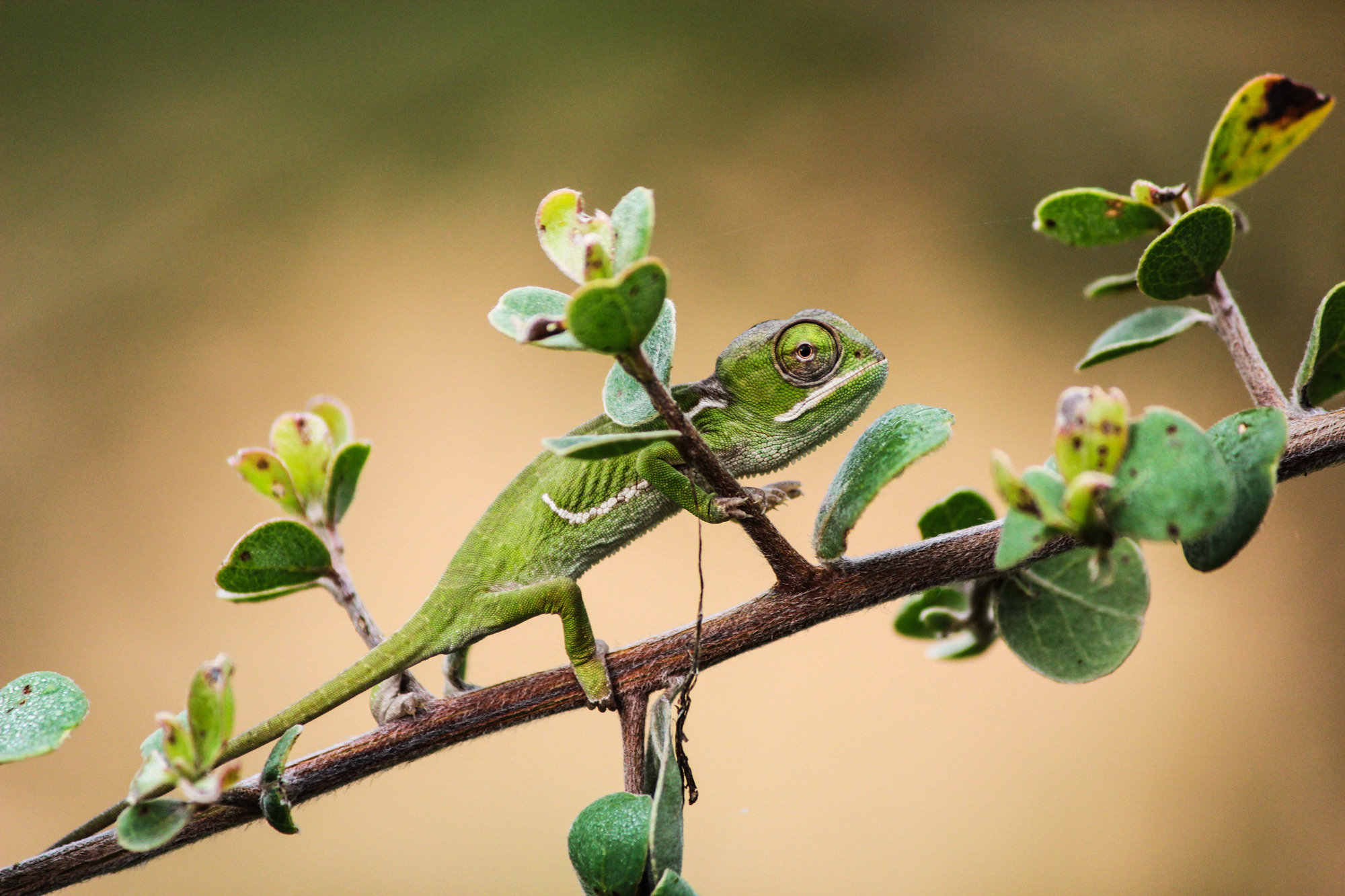A baby chameleon photographed during the day in Balule Private Nature Reserve, South Africa