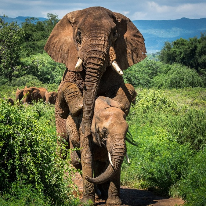 Large bull elephant mating in Samburu National Park, Kenya