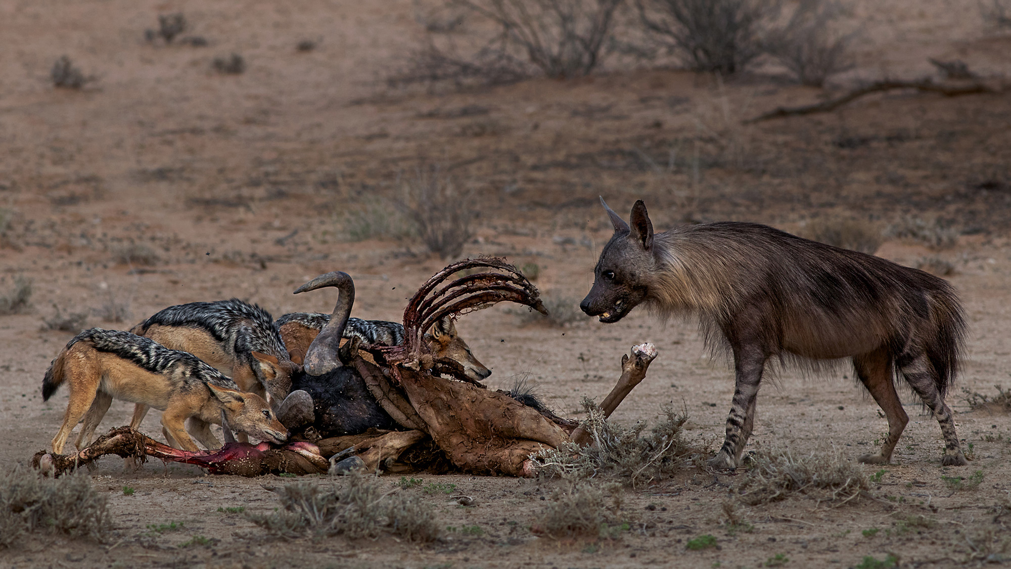 A brown hyena and black-backed jackals at a carcass in Kgalagadi Transfrontier Park