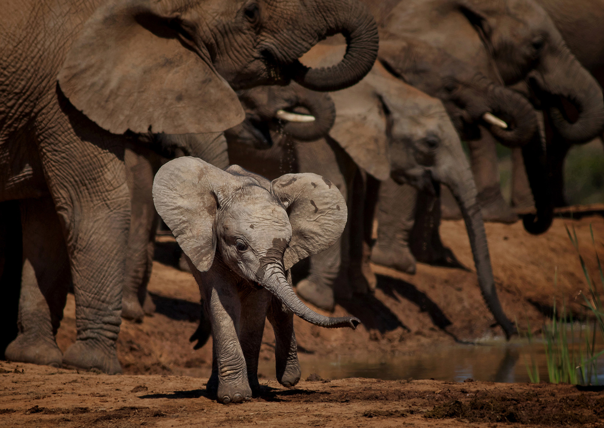 A young, playful elephant runs around the waterhole at Addo Elephant National Park, South Africa