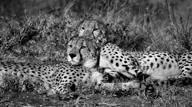 Two cheetahs relaxing