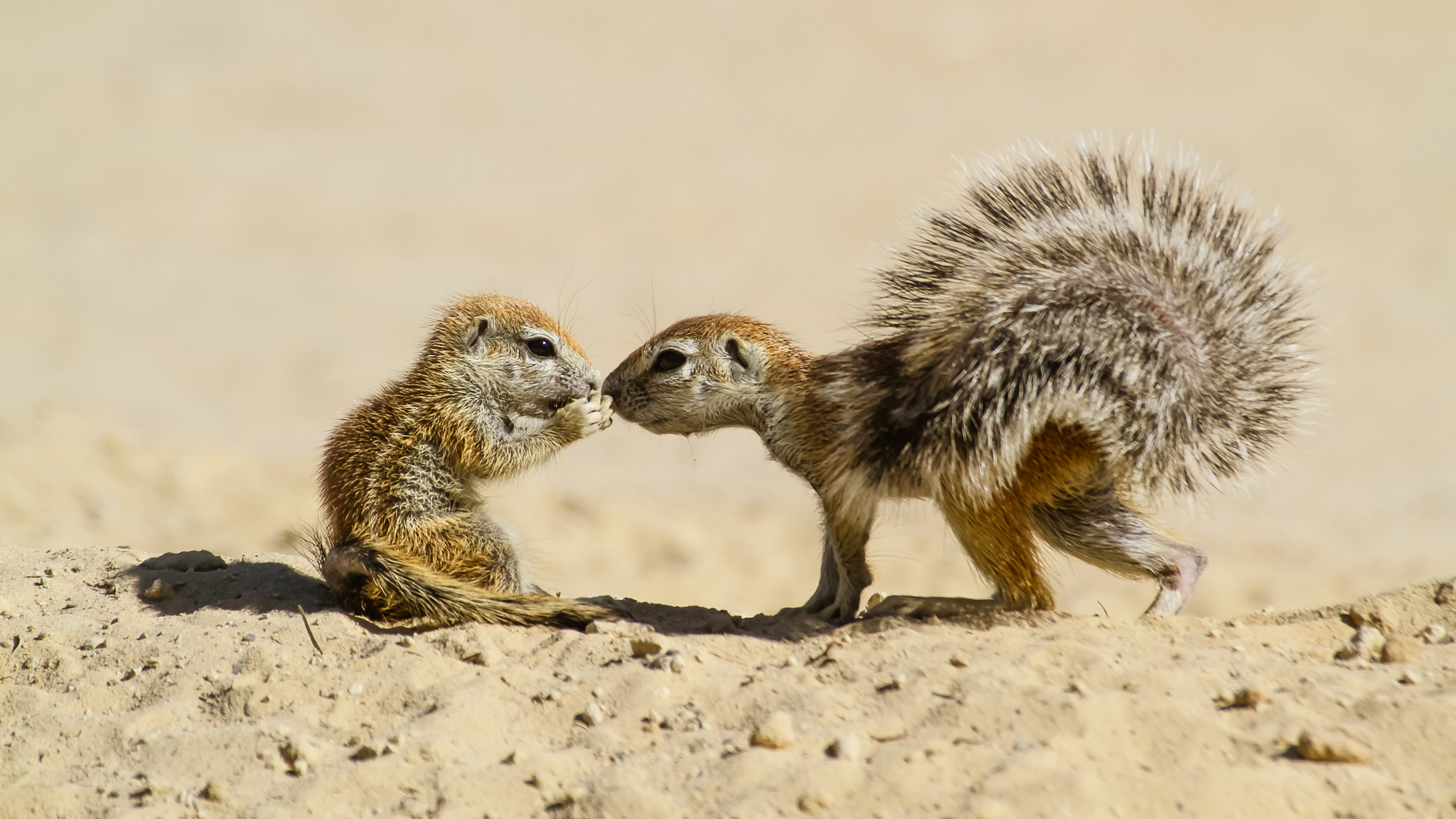 Two Cape ground squirrels 'kiss' in Kgalagadi Transfrontier Park, South Africa