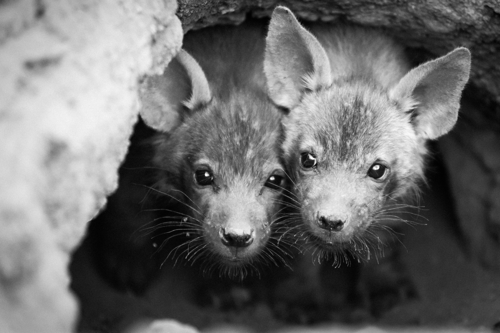Brown hyena pups in their den on a private farm in Limpopo, South Africa