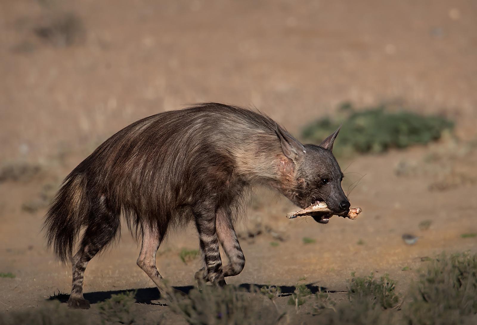 A brown hyena carrying a bone in Kgalagadi Transfrontier Park