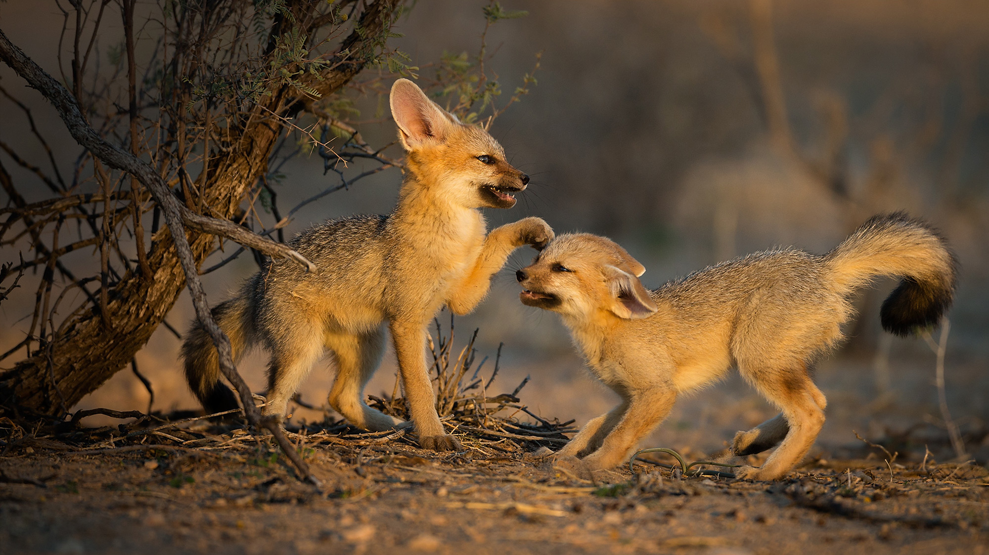 Two young Cape foxes play in Kgalagadi Transfrontier Park, South Africa