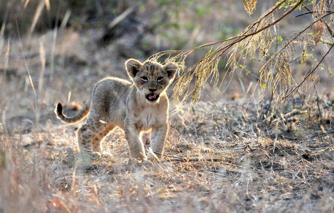 One of the new Koppies Pride lion cub